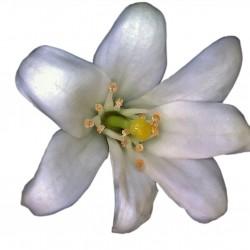 Jasmine - Short Fill