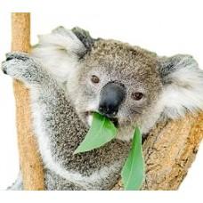 Eucalyptus - Short Fill